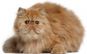 Pension pour chat Persan Paris - La Minouterie